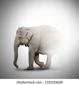 Elephant coming out of the fog. Elephant half invisible isolated on grey background
