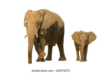 Elephant cow with baby against a white background; Loxodonta africana