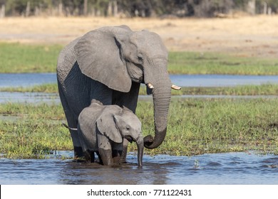 Elephant cow with her calf drinking in the okavango delta, Botswana