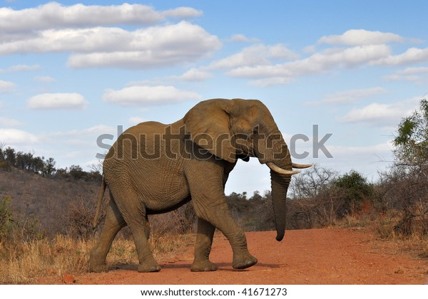 elephant crossing red road in Kruger national park,South Africa