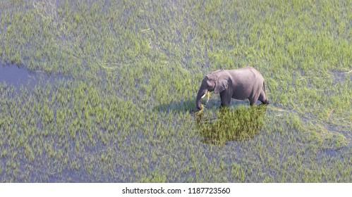 Elephant crossing water in the Okavango delta (Botswana), aerial shot