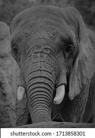elephant with dirt on its forehead showing high contrast black and white tusks