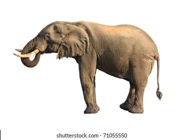 elephant drinking isolated