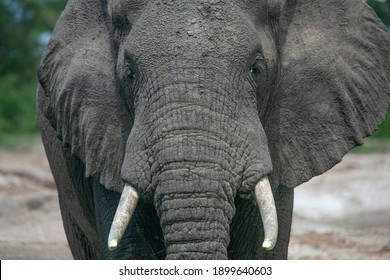 Elephant drinking water on the banks of a river in Africa