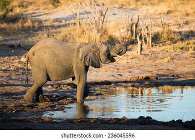 An elephant drinking at a waterhole.