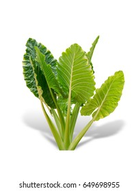 Elephant ear plant or caladium tree isolated on white background. Alocasia macrorrhizos. File contains a clipping path.