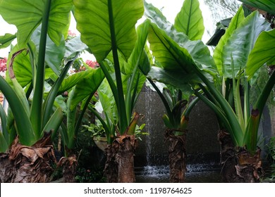 Elephant ear plants (Colocasia gigantea) in the foreground and cascading water in the background