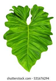 Elephant ear, taro, large heart shaped, tropical  jungle leaf with ruffles, isolated on white background, karkala ko ganu, ,cocoyam, dasheen, chembu, champadhumpa, shavige gadde, eddoe, tarul, Araceae