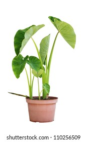 Elephant Ear taro Plants in a pot isolated on white