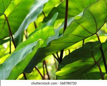 Elephant Ears Taro colocasia esculenta leaves background, selective focus. textures