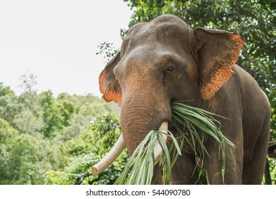 Elephant Eating Images Stock Photos Amp Vectors Shutterstock
