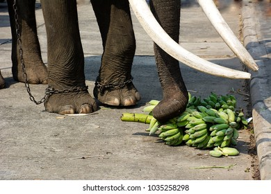 Elephant eating bananas. Chained and abused elephant used for tourist elephant ride in Thailand. Can used for animal cruelty concept.