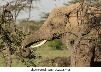 an elephant eating bits of tree in the grasslands of the Maasai Mara, Kenya