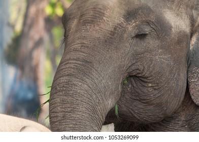 Elephant eating grass closeup portrait in Chitwan National Park, Nepal
