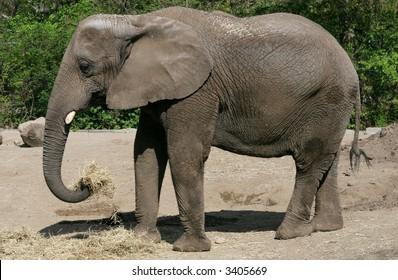 elephant eating hay