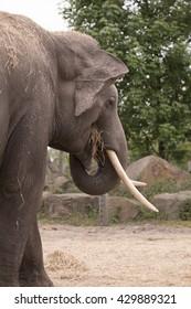 Elephant, eating, headshot