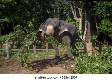 Elephant eating leaves