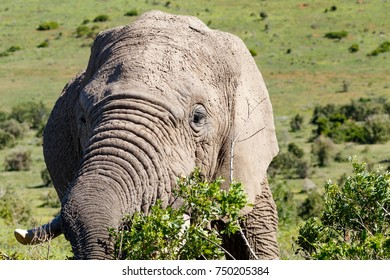 Elephant eating on a bush in the field.