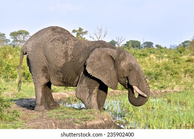 Elephant eating reeds at  water hole at Londolozi Game Reserve, Kruger National Park, South Africa