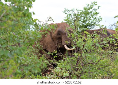 An elephant eats the leaves from a bush