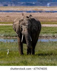 Elephant and egret, Amboseli National Park