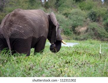Elephant and Egret,  Majete, Malawi