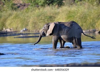 Elephant / Elephants