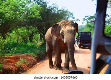 Elephant encounter on road while on safari in Yala National Park