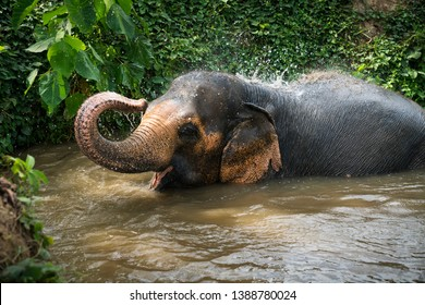 An elephant enjoys itself at the Phuket Elephant Sanctuary, a park that provides rehabilitation for abused and mistreated elephants in the Thailand tourism industry.