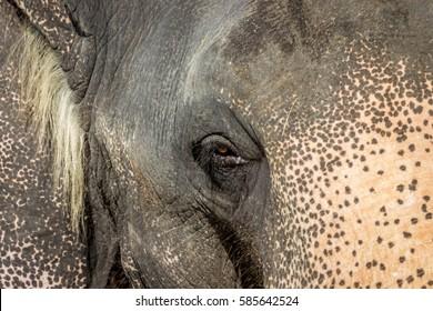 Elephant eye, close up