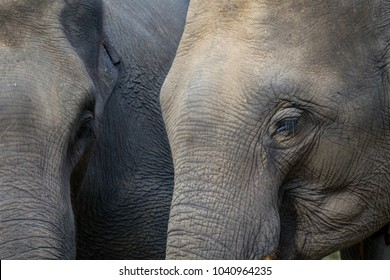Elephant eye. Close up.