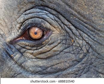elephant eye in Koh Chang