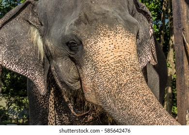 Elephant face, close up