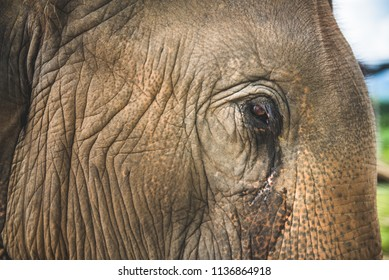 Elephant face close up. Tear from the eye of a big head animal.