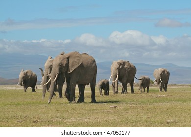 Elephant family being led by the matriarch in East African National Park