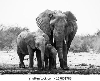 Elephant family in black and white (Etosha National Park, Namibia)