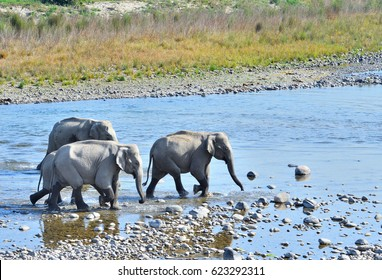 Elephant family crossing stream in Jim Corbett national Park, India