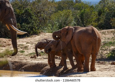 Elephant family drinking water together at the dam