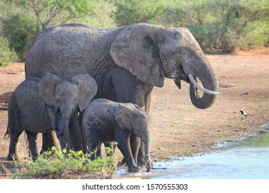Elephant family drinking at a waterhole in Kruger National park South Africa