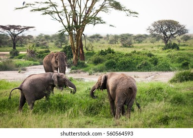 Elephant family eating grass in bush next to river and trees on the bank, safari in Serengeti National Park, Tanzania, Africa. Sunny summer day during the dry season.