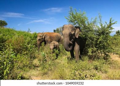 Elephant family Elephas maximus, in Udawalawe national park Sri Lanka