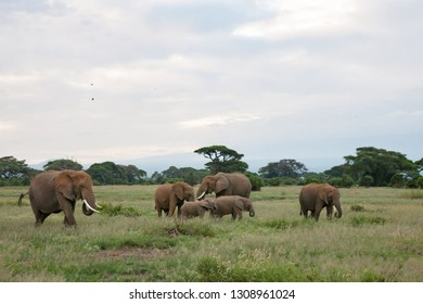 An Elephant family is grassing in the grassland of the savannah