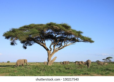Elephant family grazing under an old acacia tree on the savanna plains of Amboseli National Park, Kenya