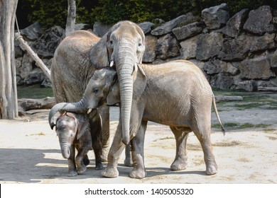 An elephant family, a mother and her two children hug each other at the zoo. Vienna, Austria