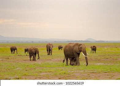 Elephant family in the savannah countryside of Amboseliau Park Kenya