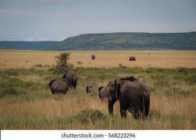 Elephant family in Serengeti, Tanzania  Elephant family in Serengeti, Tanzania