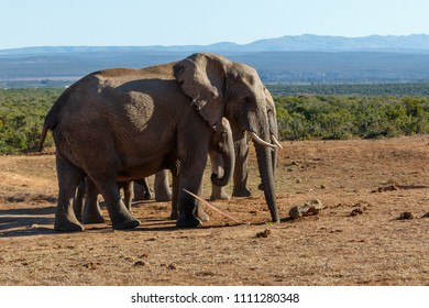 Elephant family standing together drinking water