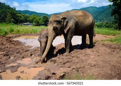 Elephant family takes bath in Chiang Mai, Thailand