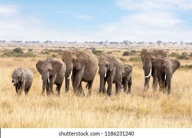 Elephant family walking through the long grass of the Masai Mara, Kenya.