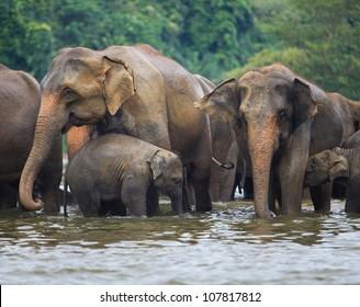 elephant family in water, Pinnawala, Sri Lanka